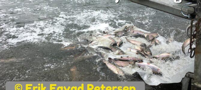 Friske fisk i Mjøls Lystfiskeri i dag