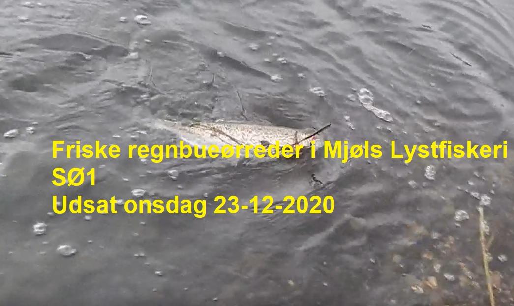 SE VIDEO: Friske regnbueørreder udsat i SØ1 i dag – 23-12-2020