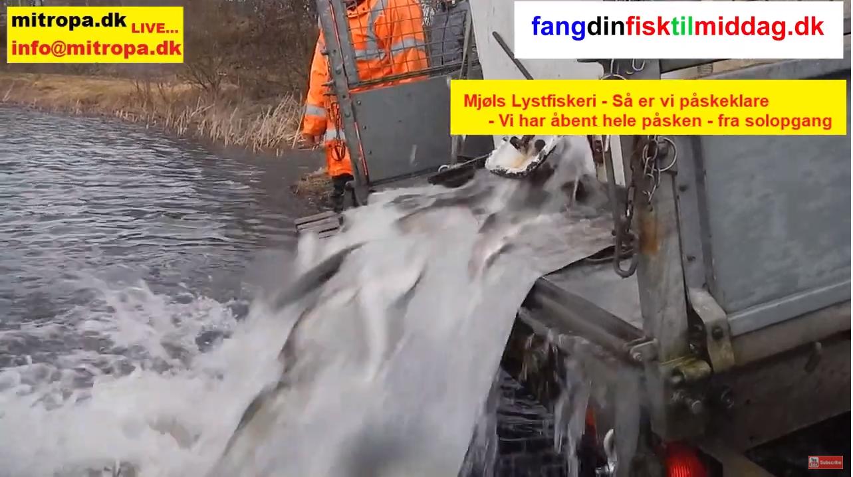 SE VIDEO – Friske regnbueørreder udsat i SØ1 i dag