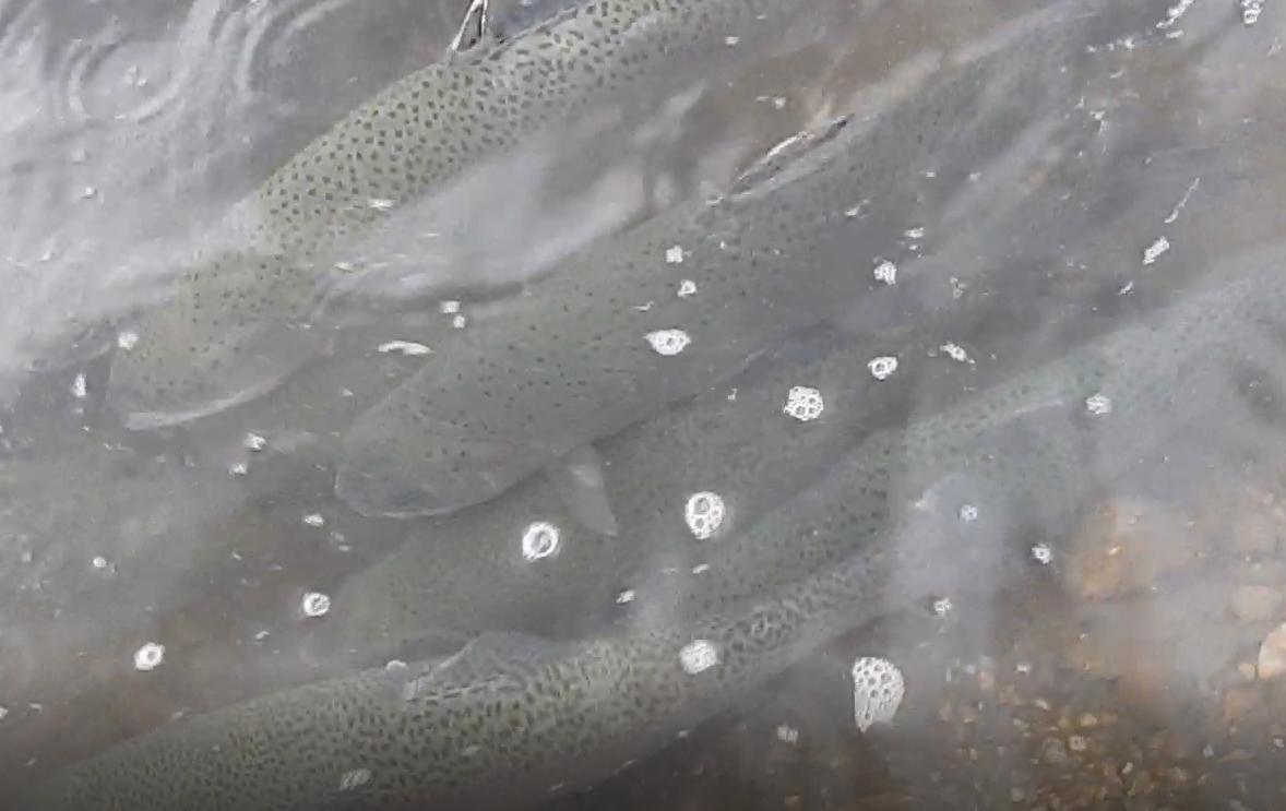 SE VIDEO – Friske regnbueørreder i Mjøls Lystfiskeri SØ1 i dag